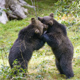 Two brown bear cubs play fighting Stock Images
