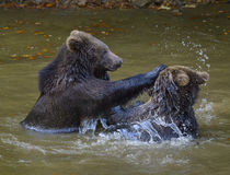 Two brown bear cubs play fighting Stock Photos