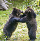 Two brown bear cubs play fighting in nature Stock Photo