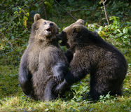 Two brown bear cubs play fighting in nature Stock Photos