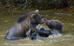 Two brown bear cubs play fighting in nature Stock Images