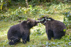 Two brown bear cubs play fighting in nature Stock Photography