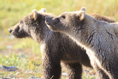 Two brown bear cubs smelling the air Royalty Free Stock Photos