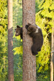 Two Brown Bear cubs (Ursus arctos) climbing a tree Royalty Free Stock Photography