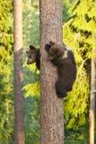 Two Brown Bear cubs (Ursus arctos) climbing a tree Royalty Free Stock Photography