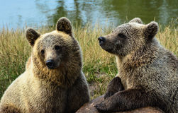 Two brown bear cubs Royalty Free Stock Images