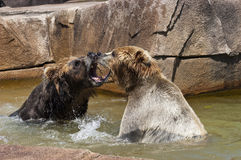 Two Brown Bear Play Fighting in Water Royalty Free Stock Images