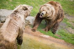 Two brown bears Royalty Free Stock Photos