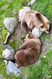 Two brown bears Stock Photos