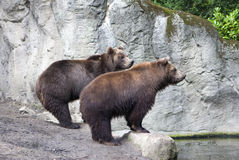 Two brown bears Royalty Free Stock Photo