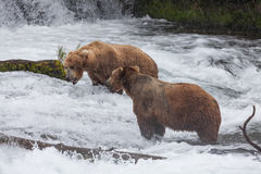Two Brown Bears Royalty Free Stock Image