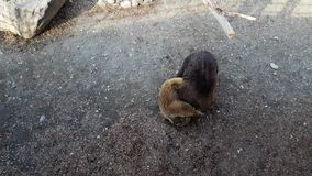 Two brown bears are carried to each other in enclosure stock footage