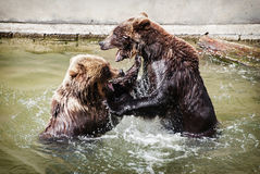 Two brown bears fighting in the water Stock Image