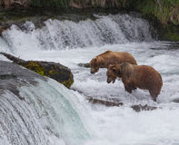 Two Brown Bears Stock Images