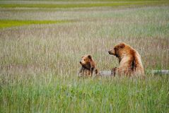 Two Brown Bears On A Log stock photo