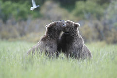 Two brown bears playing Stock Photo