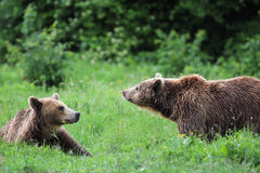 Two brown bears playing in the forest Stock Image