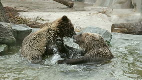 Two brown bears playing stock video footage