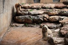 Two brown bears sitting on the huge stones stock photography