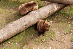 Two brown bears on tree trunk Stock Photos