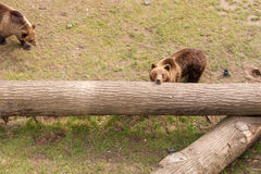 Two brown bears on tree trunk Royalty Free Stock Photo