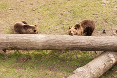 Two brown bears on tree trunk Royalty Free Stock Images