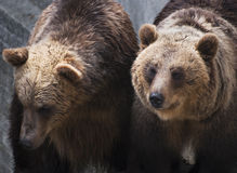 Two brown bears (Ursus arctos arctos) Royalty Free Stock Photos