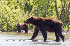 Two Brown bears Ursus arctos beringianus fishing in the Kurile lake. Kamchatka, Russia