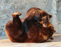 Two brown bears (Ursus arctos) playing in a zoo. 。 Royalty Free Stock Photo