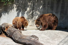 TWO BROWN BEARS. In zoo Stock Photography