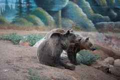 Two brown bears at the zoo stock images