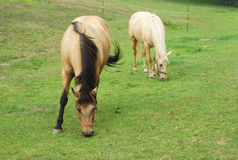 Two brown and beige horses eating grass in a field Stock Image