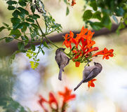 Two brown birds sitting on a branch. Bird on a branch, orange flowers Royalty Free Stock Photos