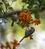Two brown birds sitting on a branch. Birds on a branch, love birds Royalty Free Stock Images