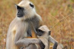 Two Brown and Black Monkeys Royalty Free Stock Photography