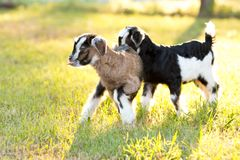 Two brown, black and white baby kid goats in grassy meadow with Stock Photos