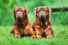 Two brown bordeaux mastiffs Royalty Free Stock Photo