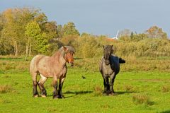 Two brown Brabantian horses in nature. Couple of brown Brabantian horses in a meadow with trees behind in Bourgoyen nature reserve, Ghent, Belgium Stock Photo