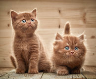 Two brown british kittens Stock Image