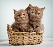 Two brown british shorthair kittens Stock Photography
