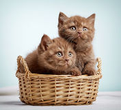 Two brown british shorthair kittens Stock Images