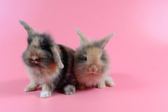 Two brown bunny on clean pink background, little rabbit Royalty Free Stock Images