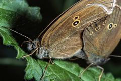 Two brown butterflies on leaf stock images