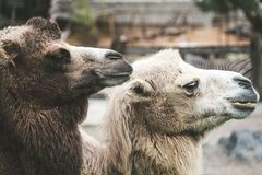 Two Brown Camels royalty free stock images