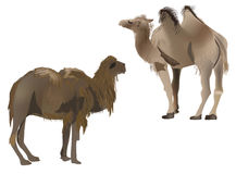 Two brown camels isolated on white Royalty Free Stock Images