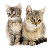 Two brown cats. Royalty Free Stock Images