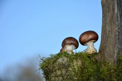 Two brown champignons mushrooms Agaricaceae on green Moss. Before many blue sky , on the right with trunk stock photos