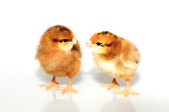 Two brown chicken Stock Images