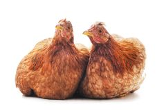 Two brown chickens. On a white background royalty free stock image