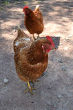 Two brown chickens Stock Images